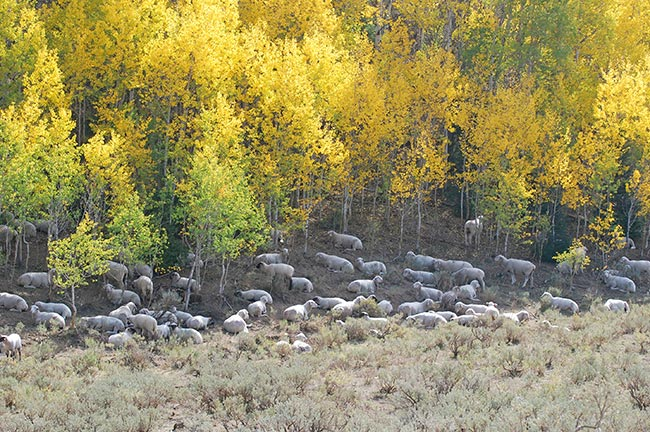 livestock risk protection insurance