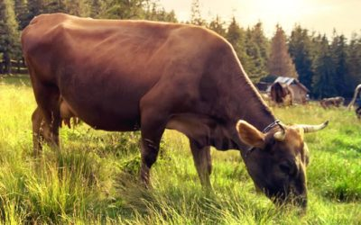 Adding Red Seaweed To Cow Feed Could Cut Bovine Flatulence